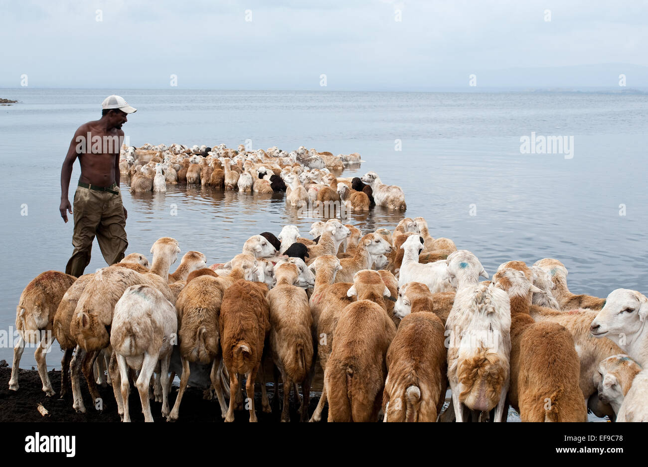 Sheeps being washed before their export to Arab countries ( Ethiopia) - Stock Image