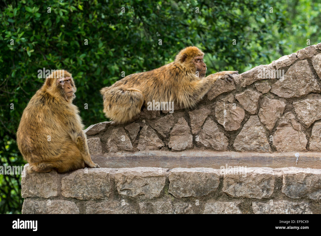 Two Barbary macaques / Barbary apes / magots (Macaca sylvanus) monkey species native to Northern Africa and Gibraltar - Stock Image