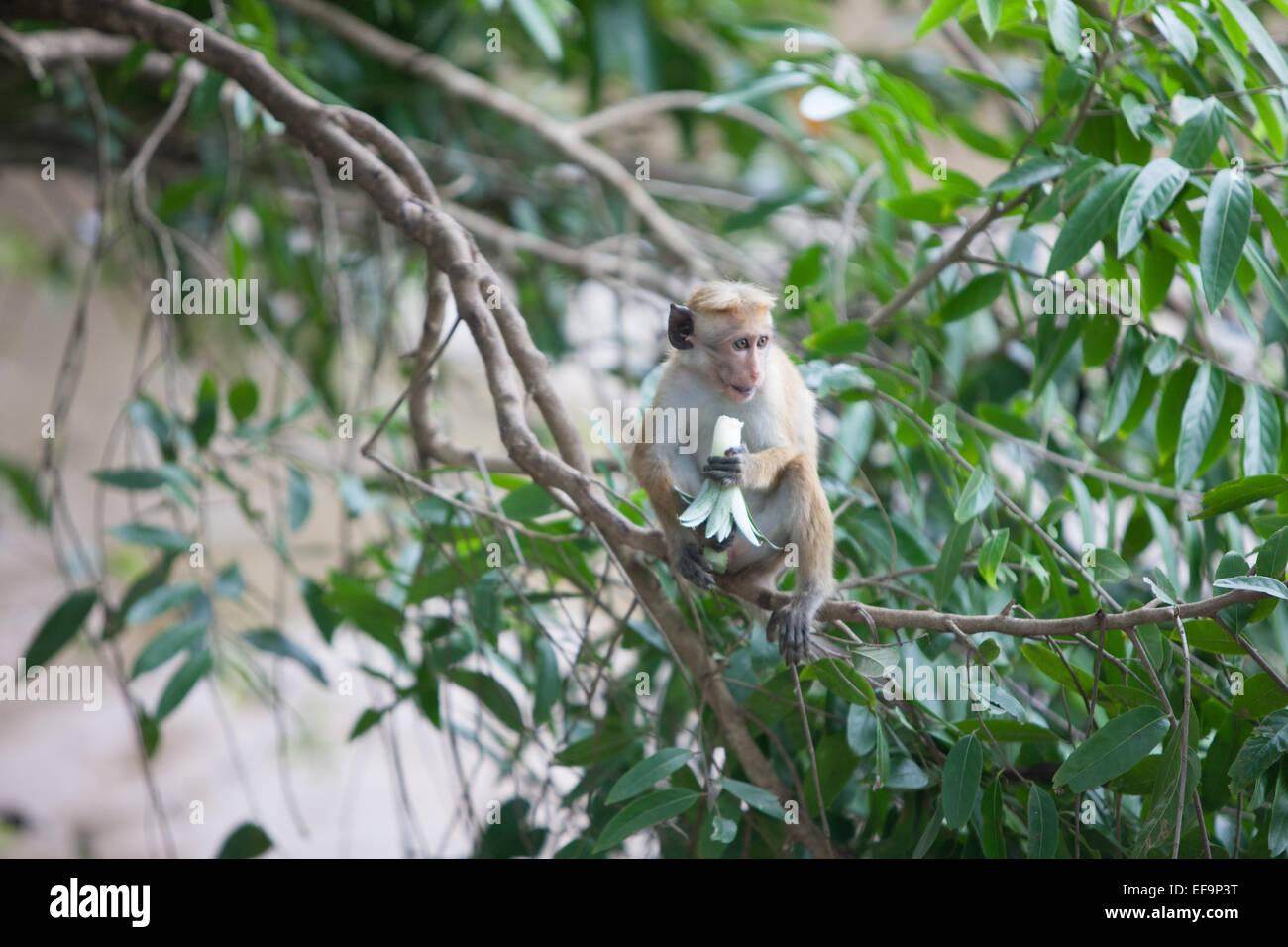 Monkeys at Yala National Park.Sri Lanka. Stock Photo