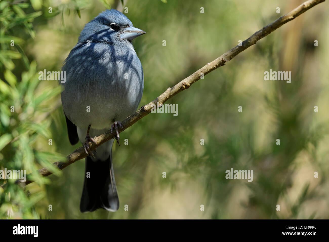 Blue Chaffinch, (Fringilla teydea teydea), male perched on a twig, Tenerife - Stock Image