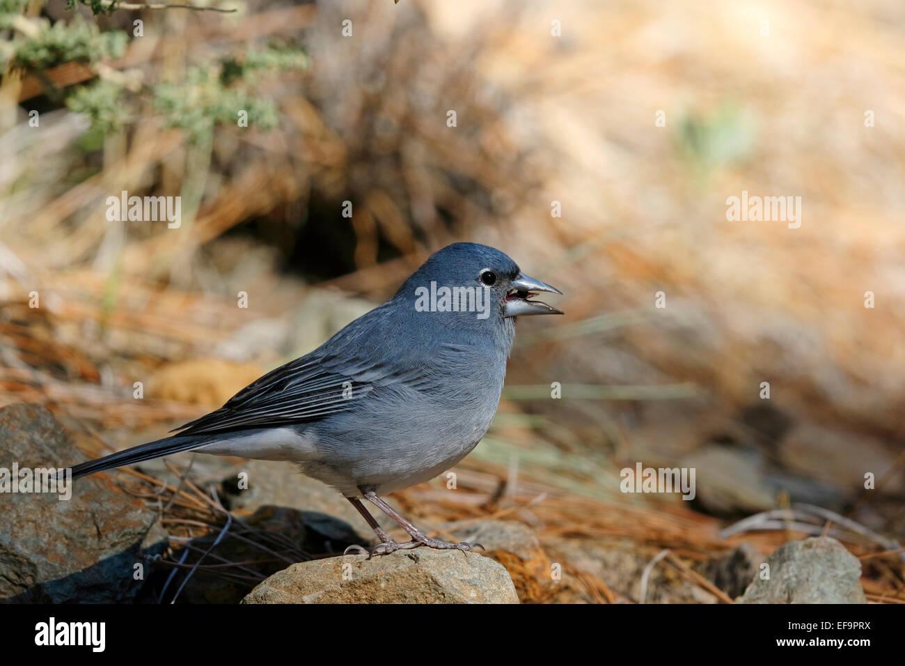 Blue Chaffinch, (Fringilla teydea teydea), male on the ground, Tenerife - Stock Image