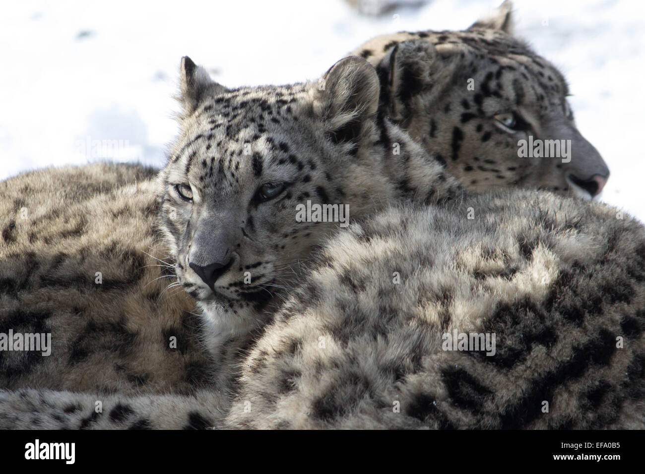 A pair of young leopard cubs look attentively in opposite directions as if in search of something.. - Stock Image