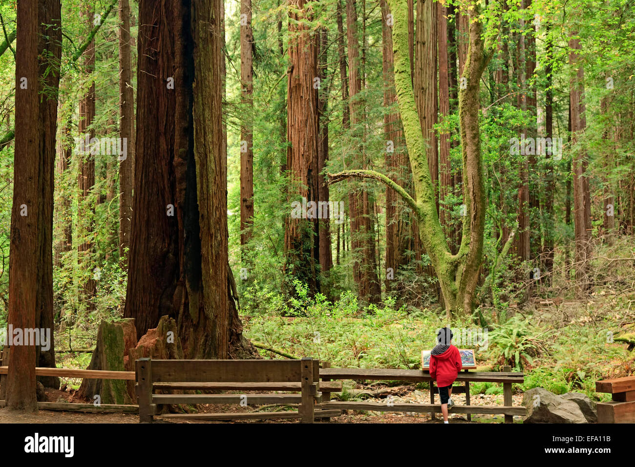 Child admiring redwood forest, Muir Woods National Monument, California USA - Stock Image