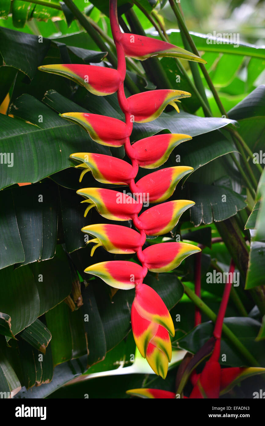 Red Heliconie (Heliconia pendula), flower, tropical plant, Reunion - Stock Image