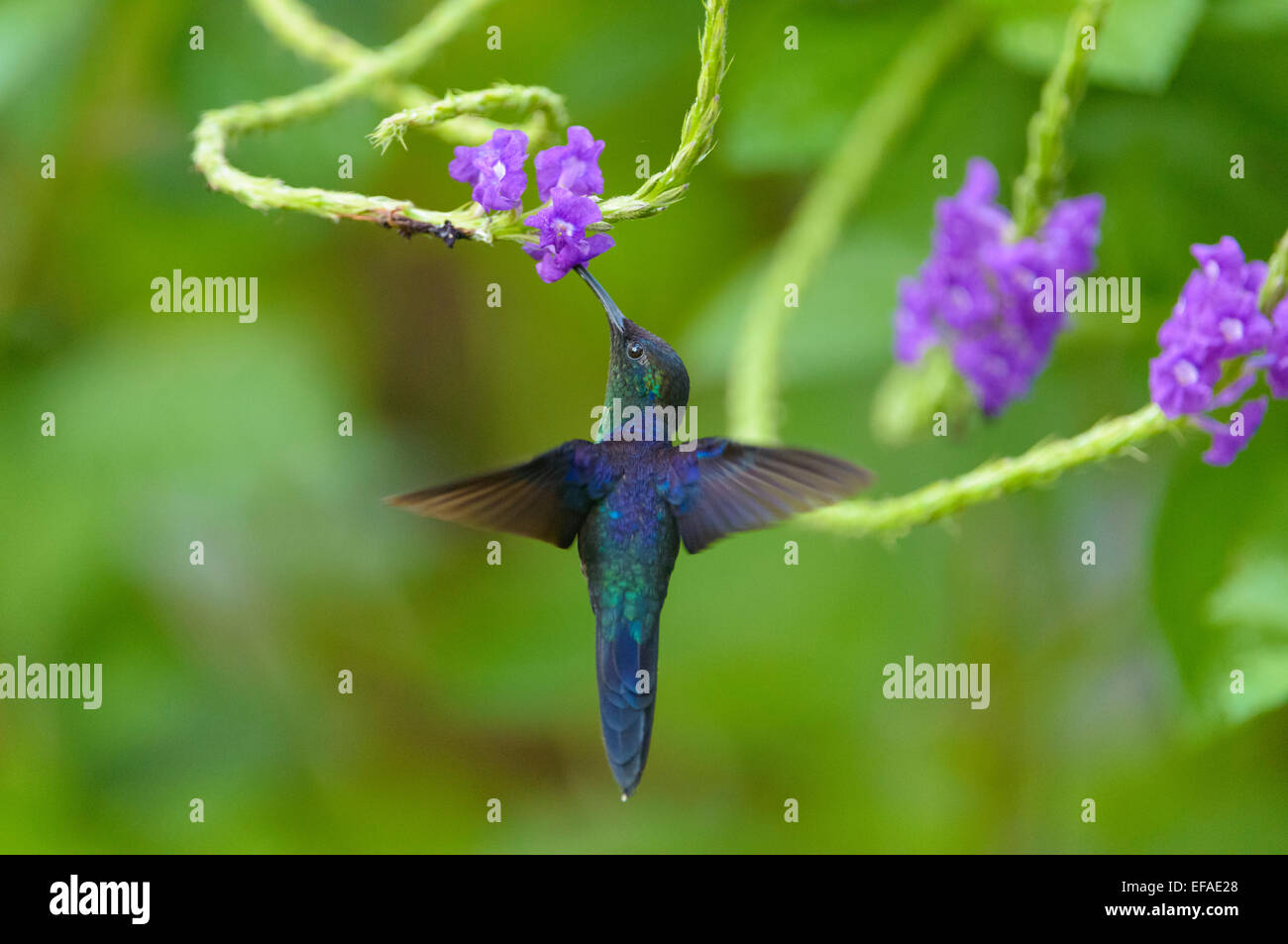 Violet-crowned Woodnymph (Thalurania colombica), in flight, feeding on nectar from flower, Puntarenas Province, - Stock Image