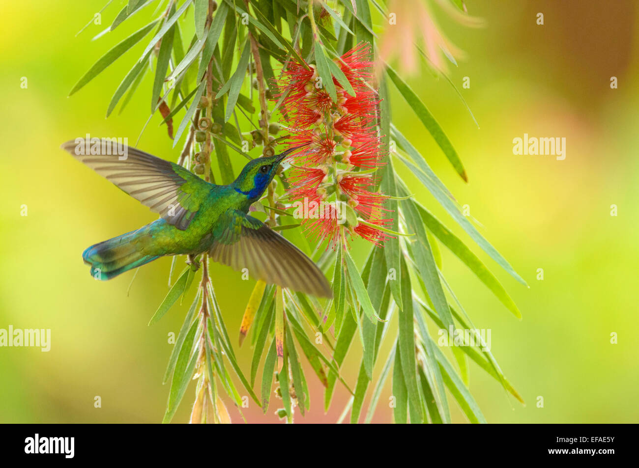 Green Violetear (Colibri thalassinus), in flight, feeding on nectar from flower, Los Quetzales National Park - Stock Image