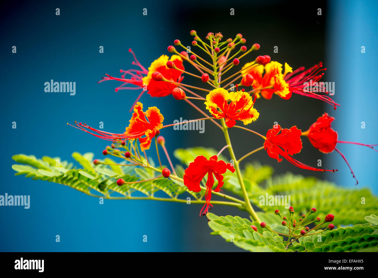 Poinciana (Caesalpinia pulcherrima), with red and yellow flowers, in a flower garden, Vinales Valley, Viñales - Stock Image