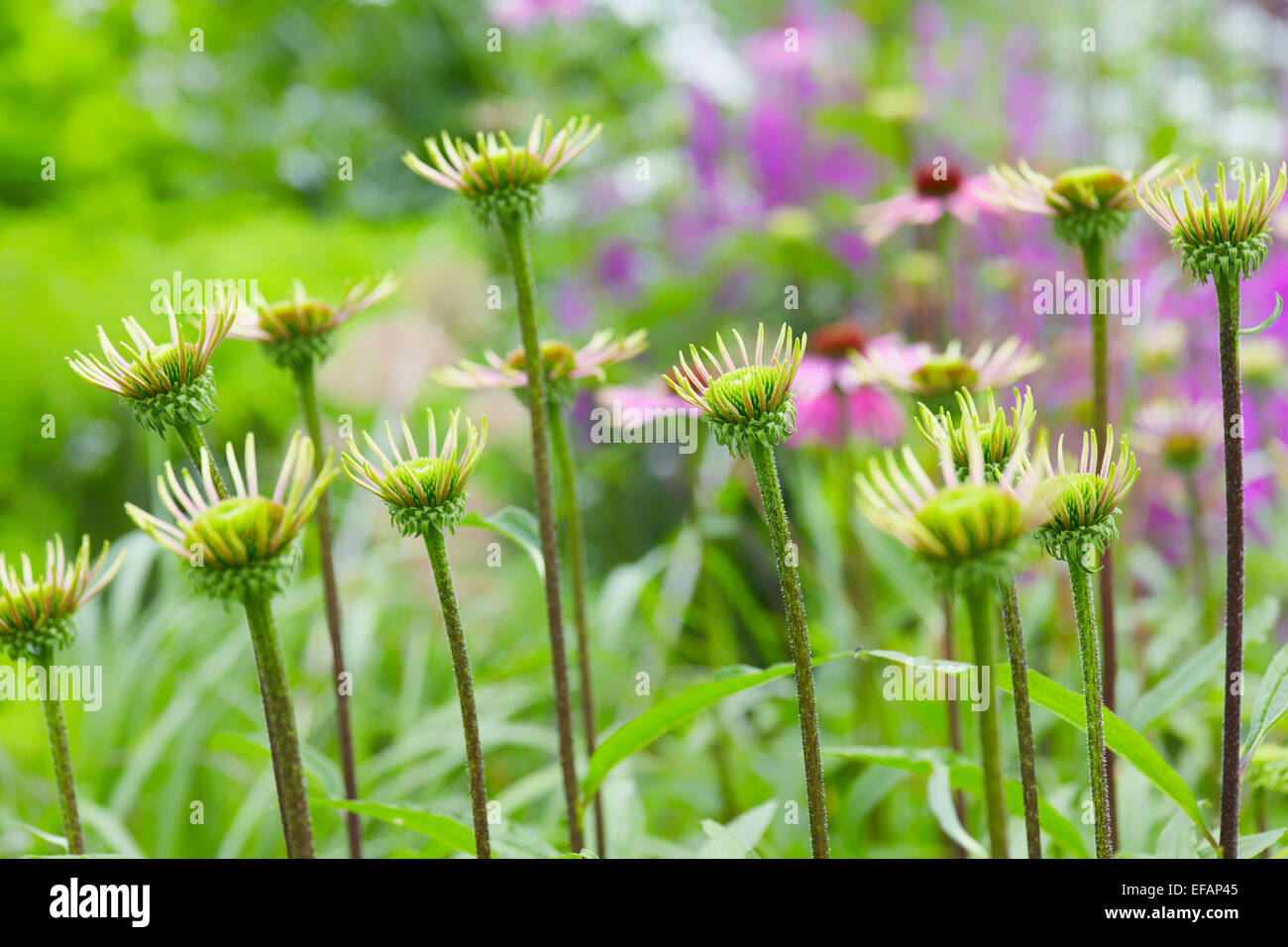 Cone flower opening in an English cottage garden - Stock Image