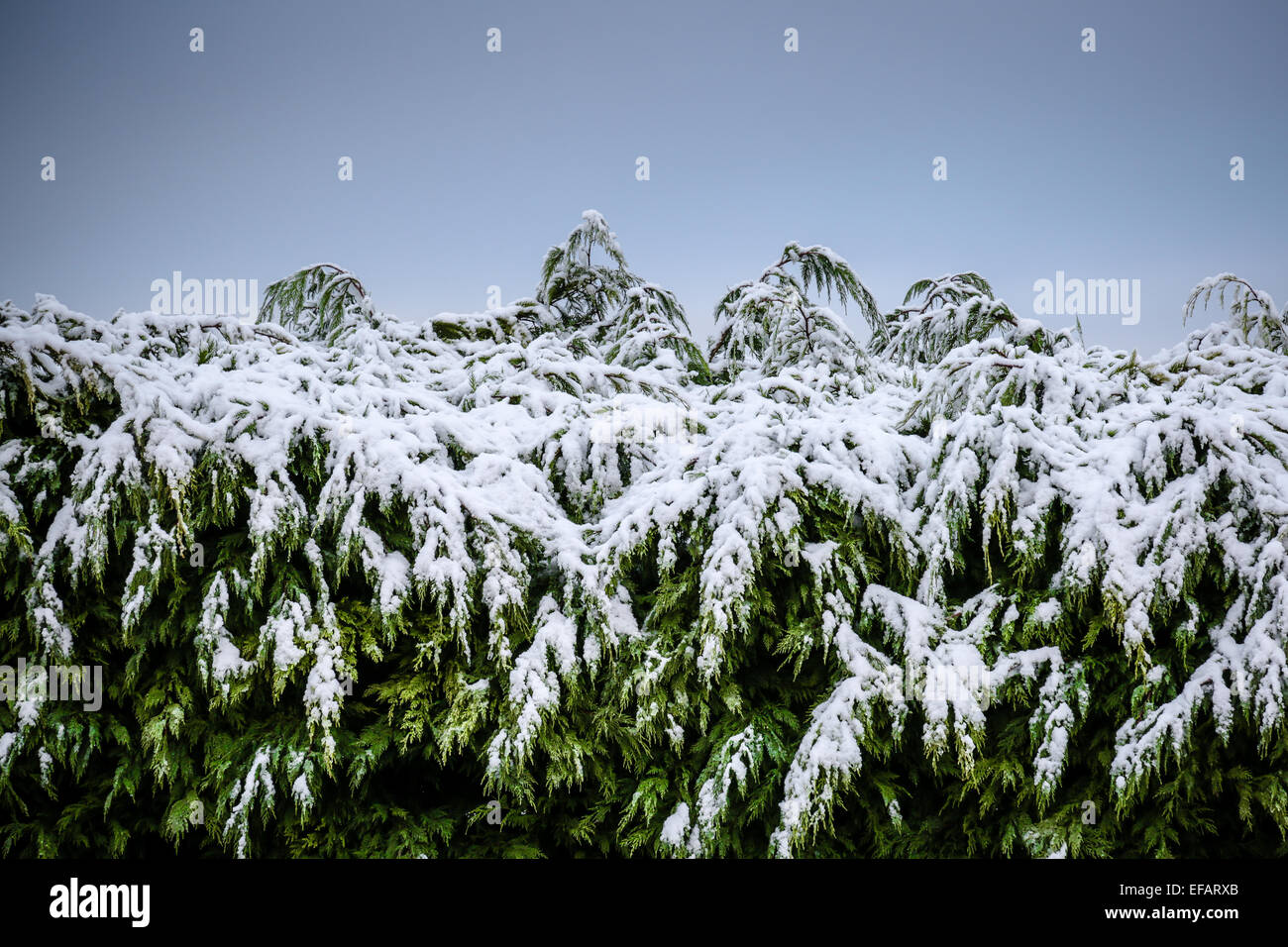 The top of a conifer hedge covered in recent snowfall against a blue sky - Stock Image