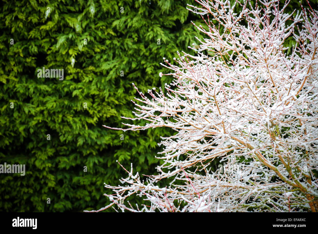Bare branches of a tree covered in snow with an evergreen hedge behind still green Stock Photo