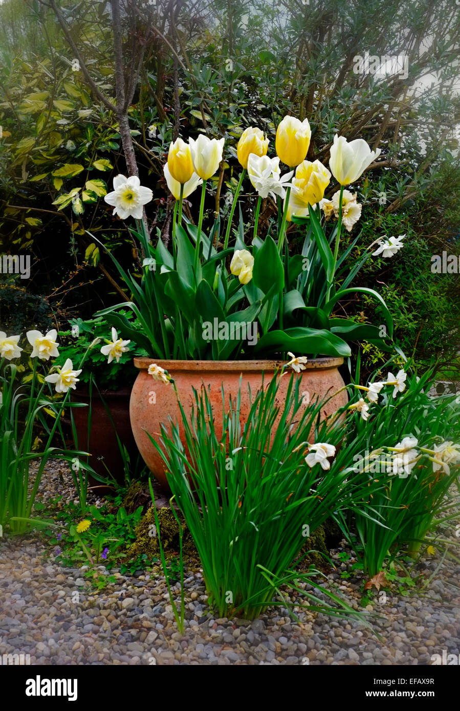Large Pot With Yellow And White Tulips And Narcissus Flowers In A