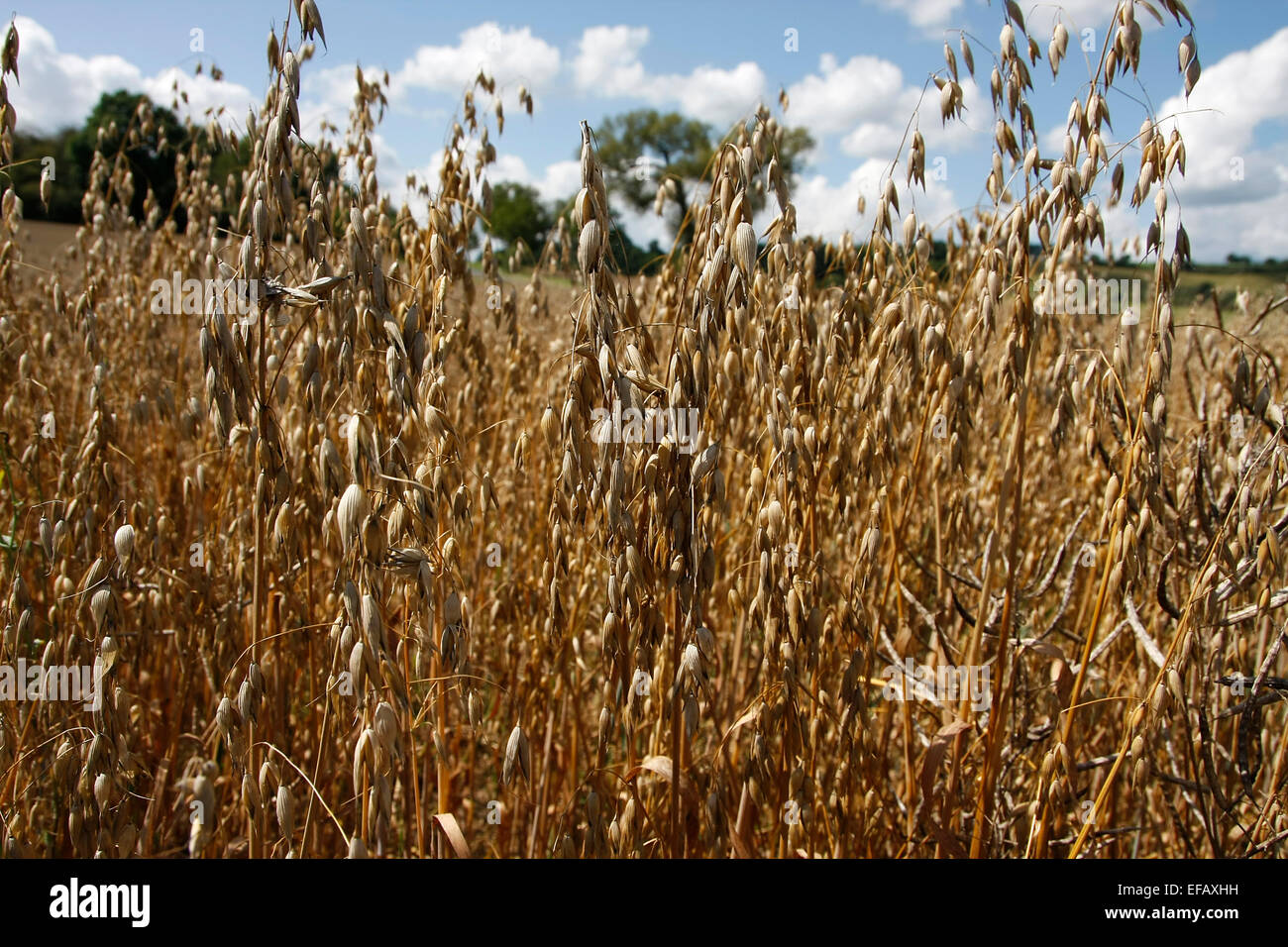 A field with ripe ears of oats. The oats are usually harvested by combine harvesters. Oats are highly valued of - Stock Image