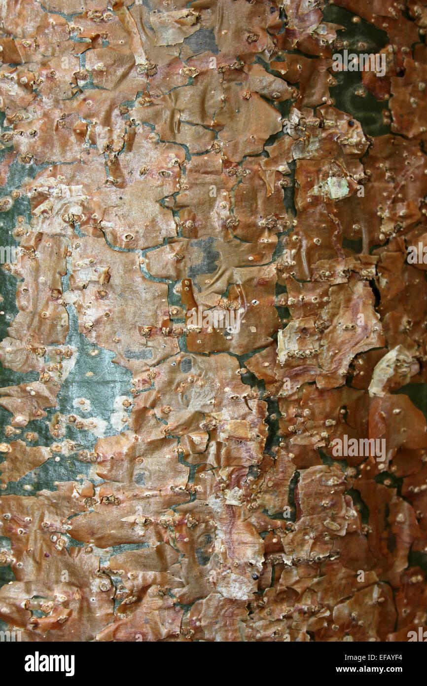 Gumbo-limbo a.k.a. 'Copperwood', 'Tourist Tree' Bark Bursera simaruba - Stock Image
