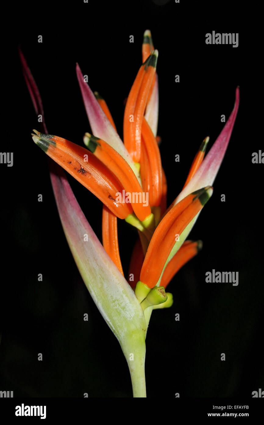 Bird-of-Paradise Flower Strelitzia sp. Photographed At Night - Stock Image