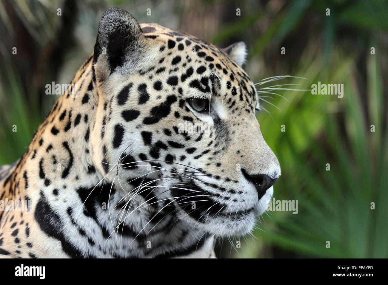 Jaguar Panthera onca - Stock Image