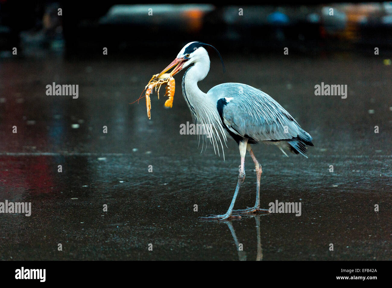Amsterdam, Netherlands. 29th January, 2015. Blue Herons, usually found near estuaries, lakes and rivers, scavenge - Stock Image