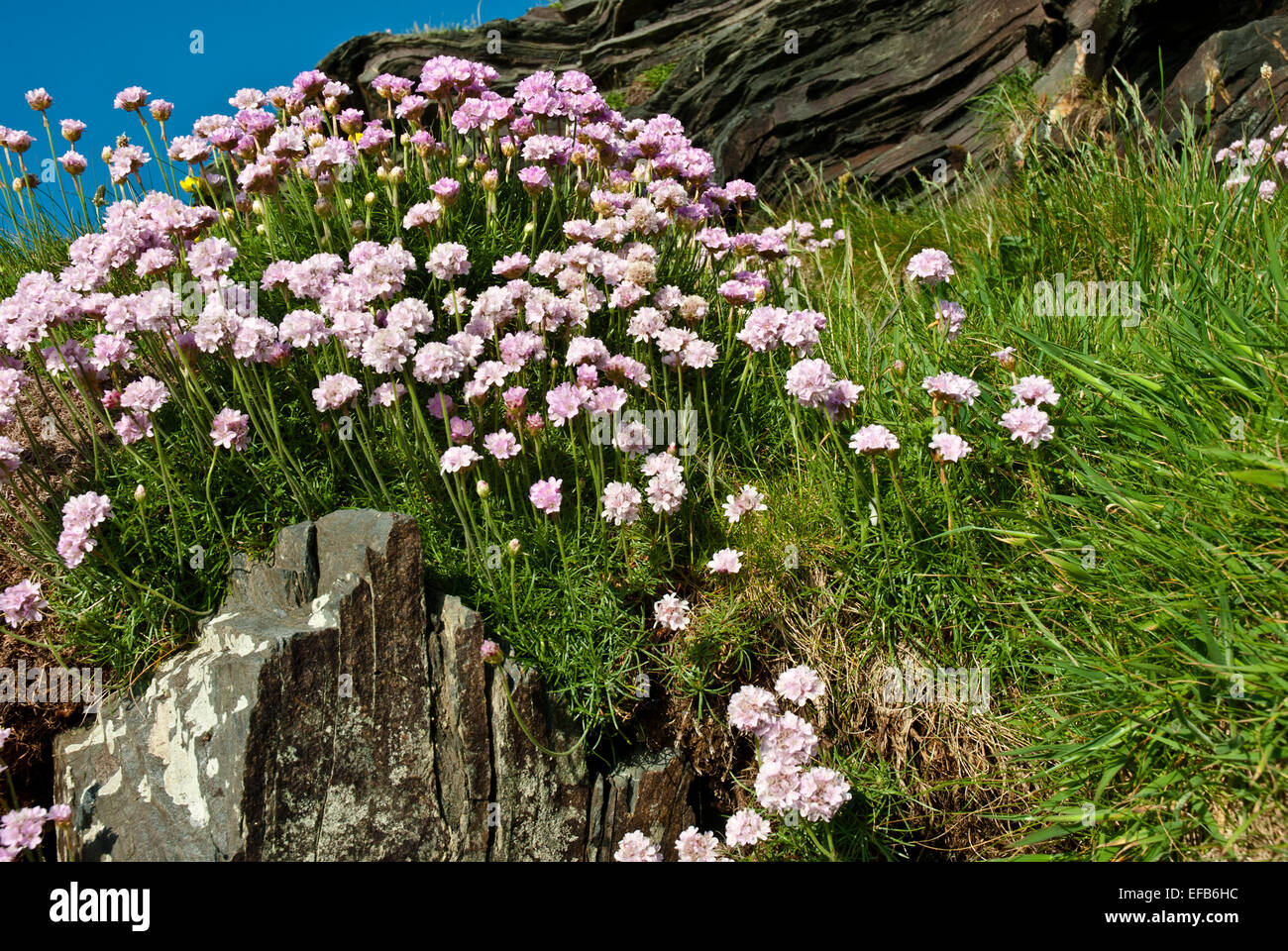 Sea pinks stock photos sea pinks stock images alamy a cluster of sea pinks on a cliff coastal plant of summer aka thrift mightylinksfo Image collections