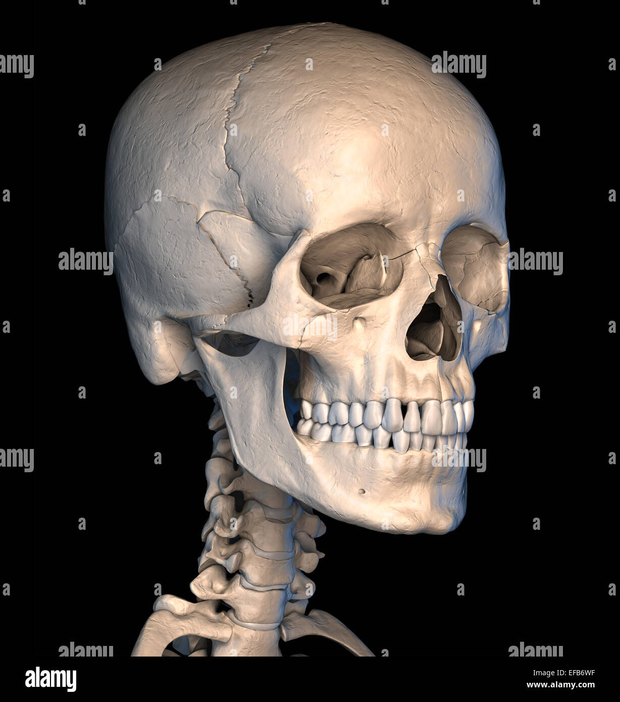Very detailed and scientifically correct human skull. Perspective view, on black background. Anatomy image. Clipping - Stock Image