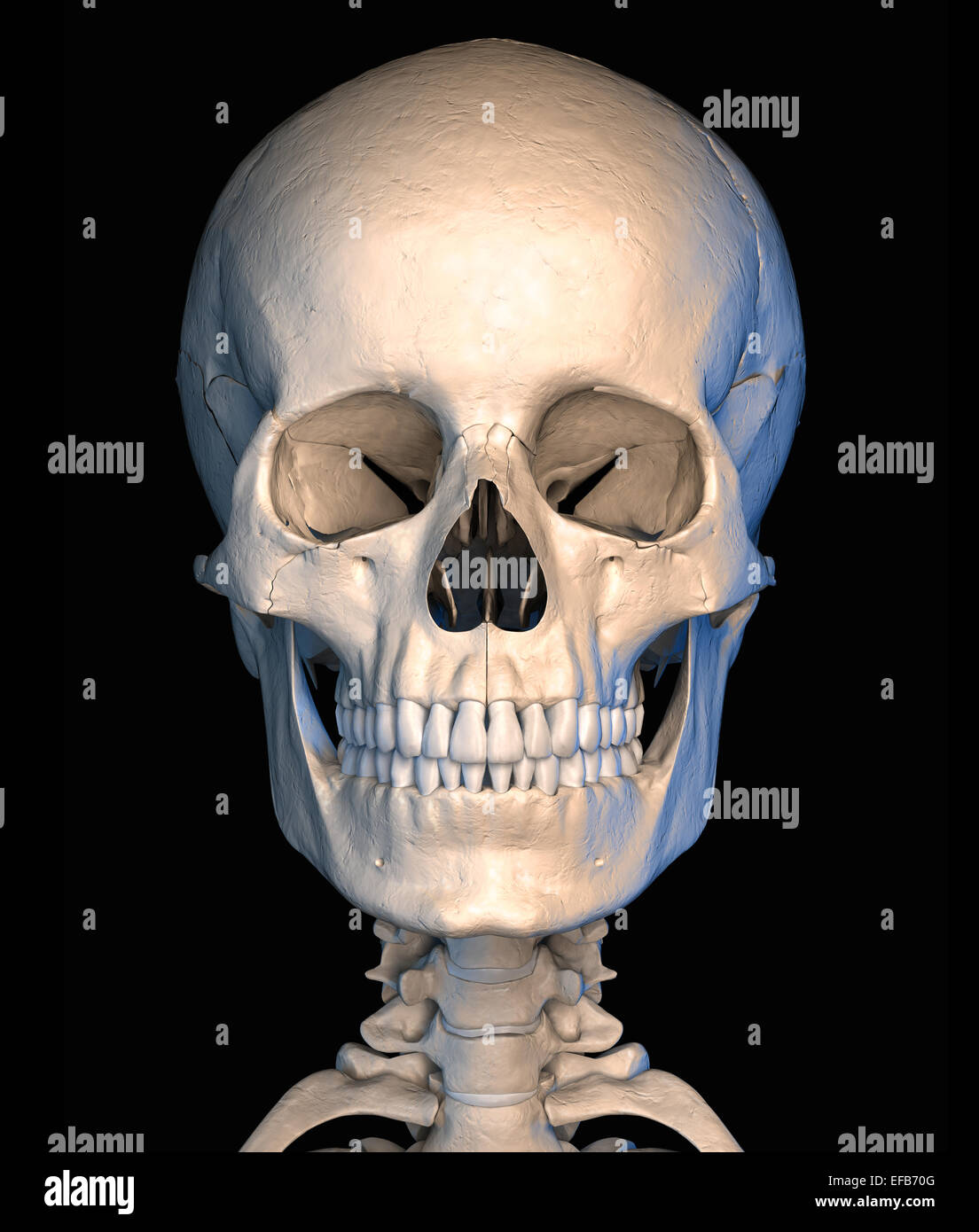 Very detailed and scientifically correct, human skull, front view, on black background. Anatomy image. Clipping - Stock Image
