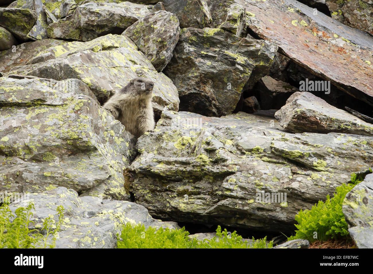 Alpine Marmot (Marmota marmota) - France - Stock Image