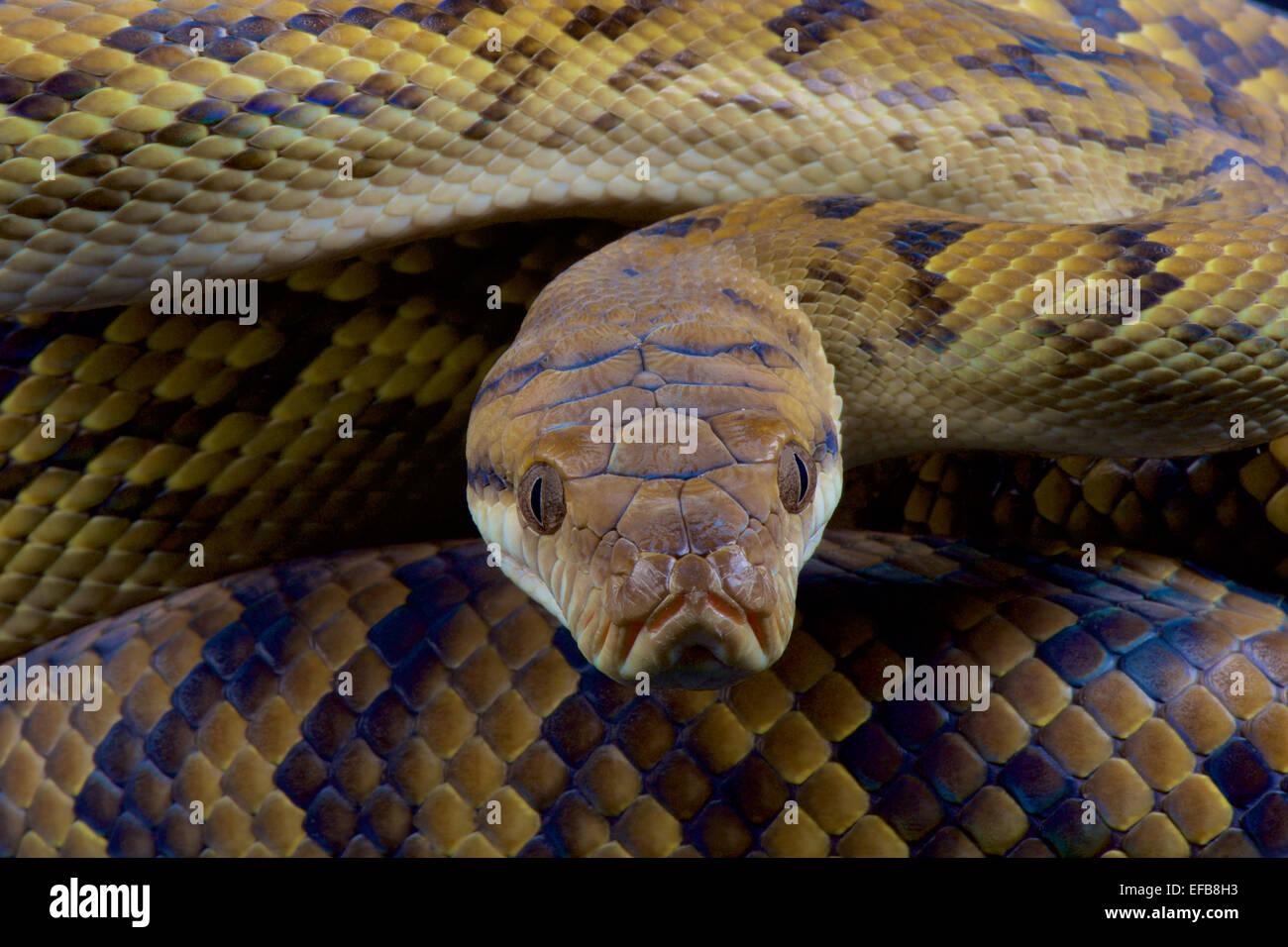 Australian scrub python / Morelia kinghorni - Stock Image