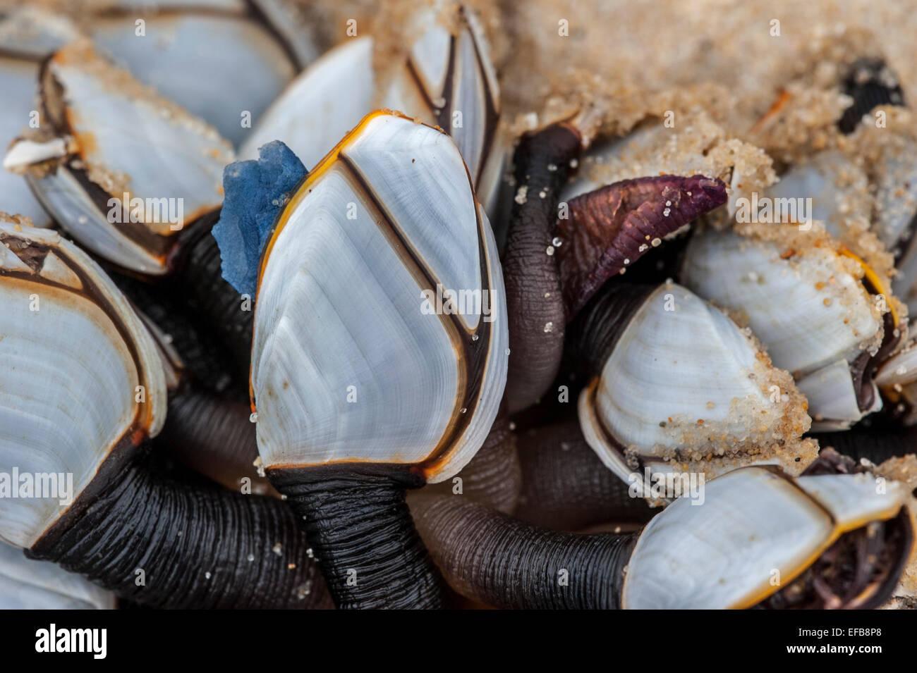 Common goose barnacles / pelagic gooseneck barnacle / smooth gooseneck barnacles (Lepas anatifera) washed on the beach Stock Photo