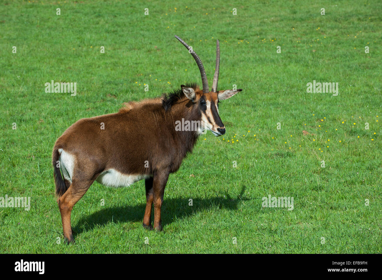 Sable antelope (Hippotragus niger) native to  East and Southern Africa - Stock Image