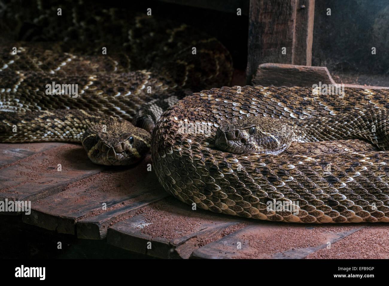 Two Western diamondback rattlesnakes / Texas diamond-back rattlesnake (Crotalus atrox) curled up in building, native Stock Photo