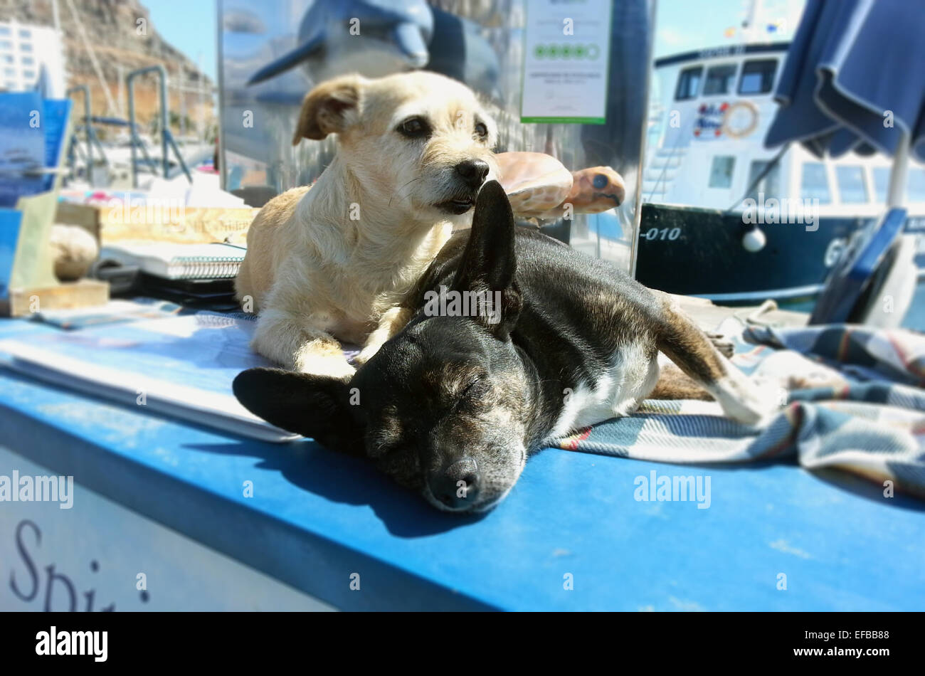 Two small dogs resting in the spanish sun. Stock Photo