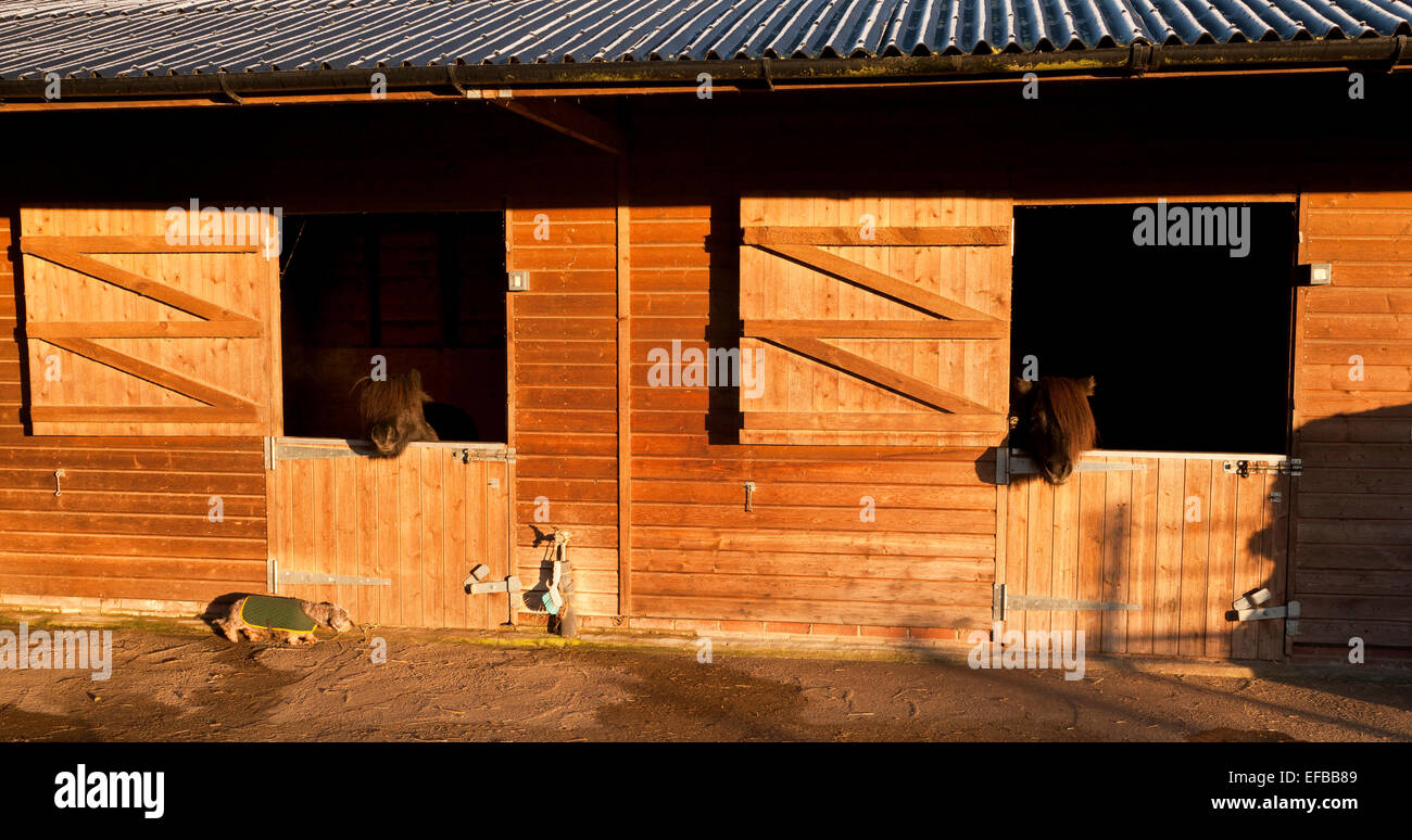 Two ponies looking out over their stable doors - Stock Image