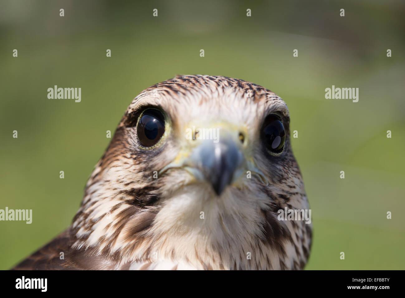 Wildlife : European Kestrel (Falco tinnunculus), bird of prey. Aka Eurasian Kestrel or Old World Kestrel. - Stock Image