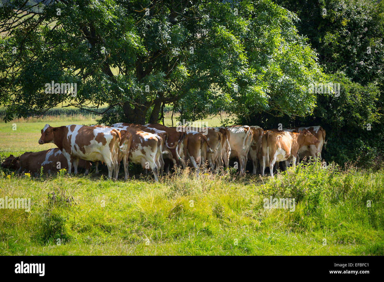 Herd of cows standing in shade of trees in rural summer meadow, Oxfordshire, England - Stock Image