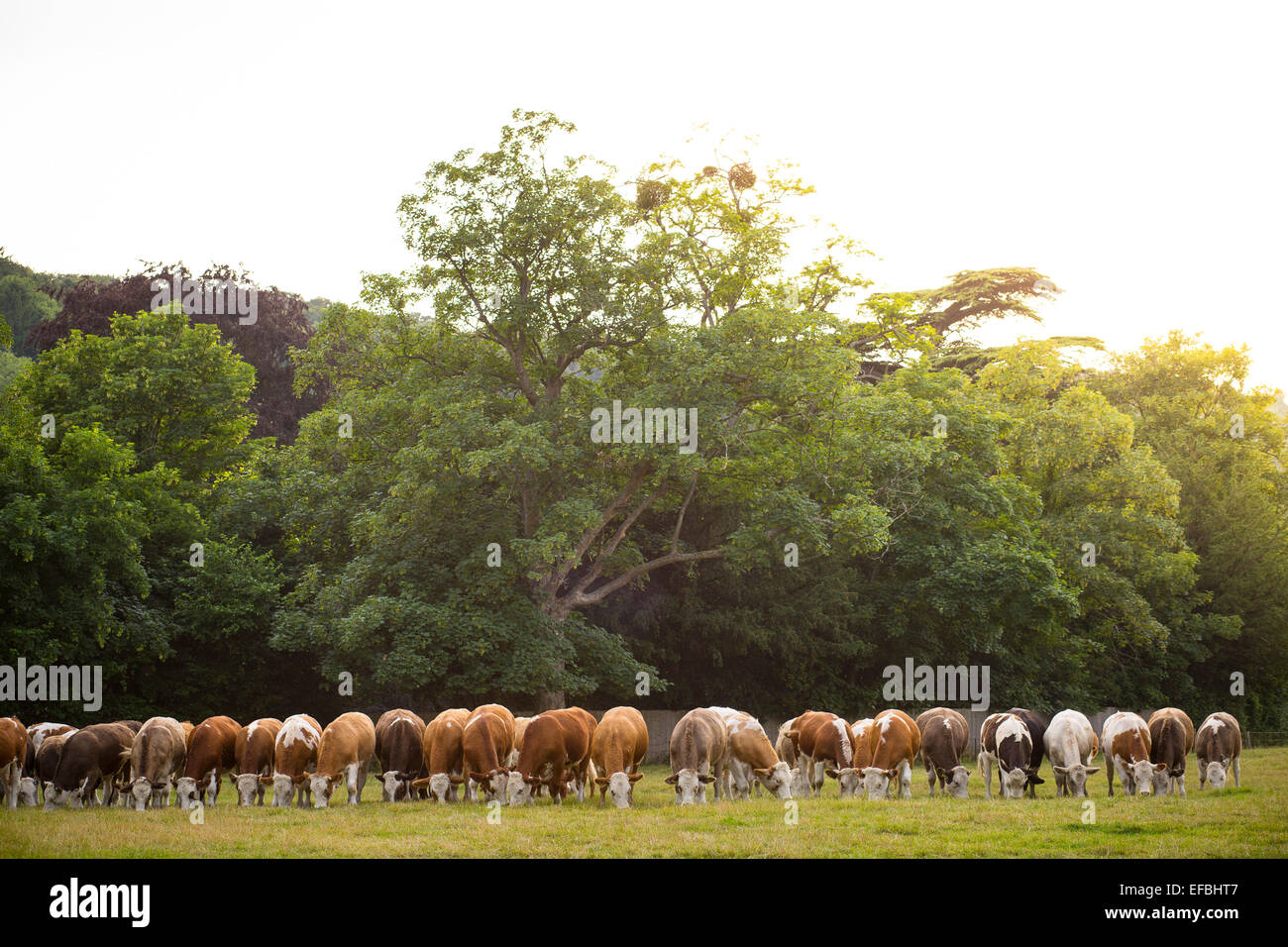 Row of cows grazing in rural summer meadow, Oxfordshire, England - Stock Image