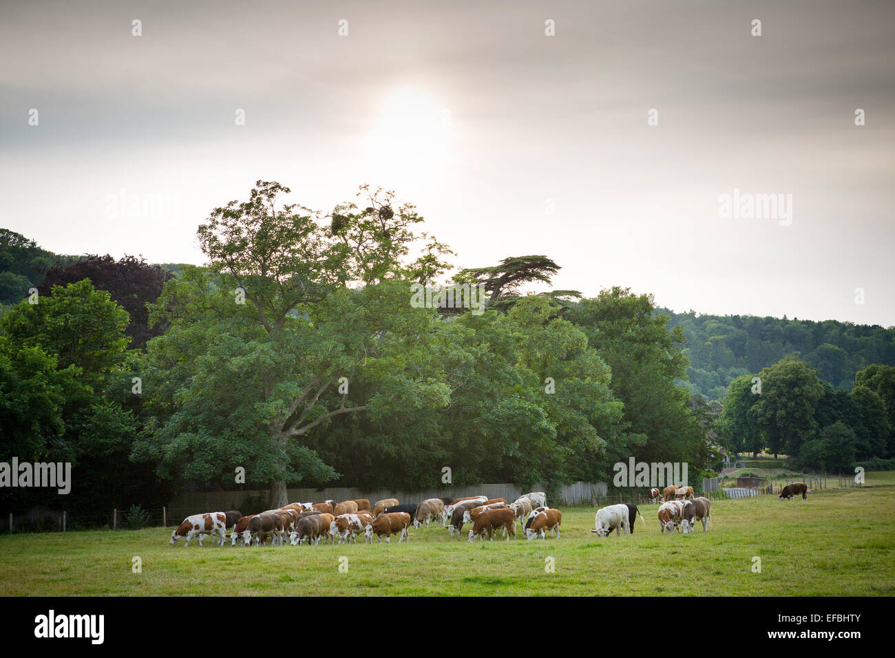 Landscape view with herd of cows grazing in rural summer meadow, Oxfordshire, England - Stock Image