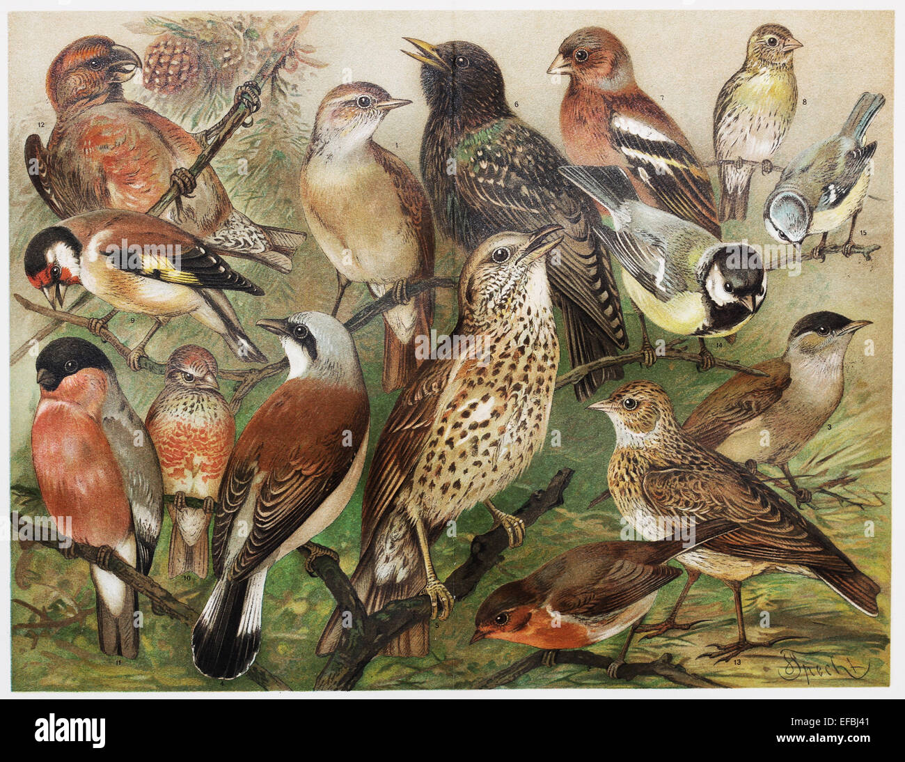 Vintage drawing of European cage birds from late 1800's - Stock Image