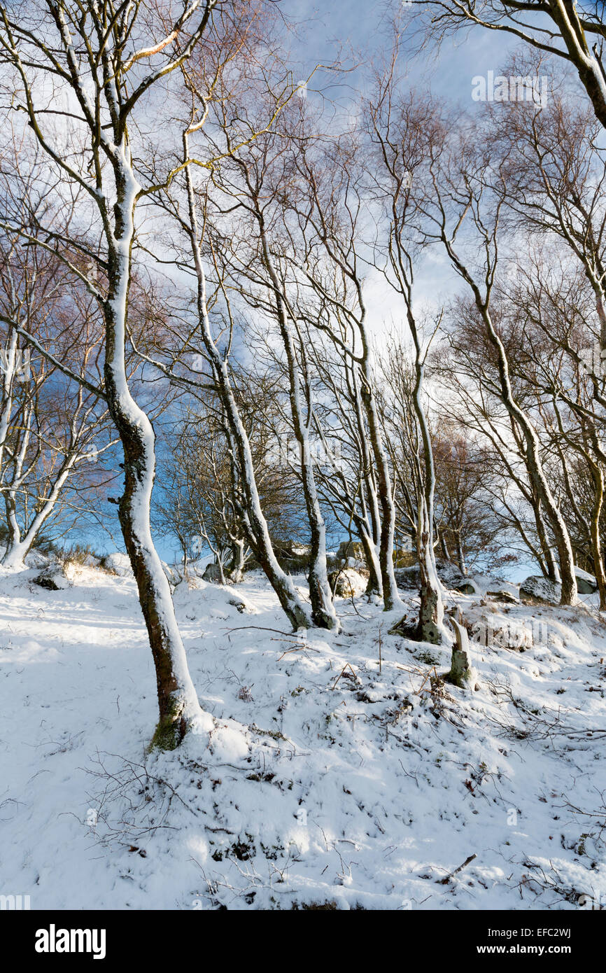 Snow clad Birch trees in Nidderdale, North Yorkshire, in mid-winter. - Stock Image