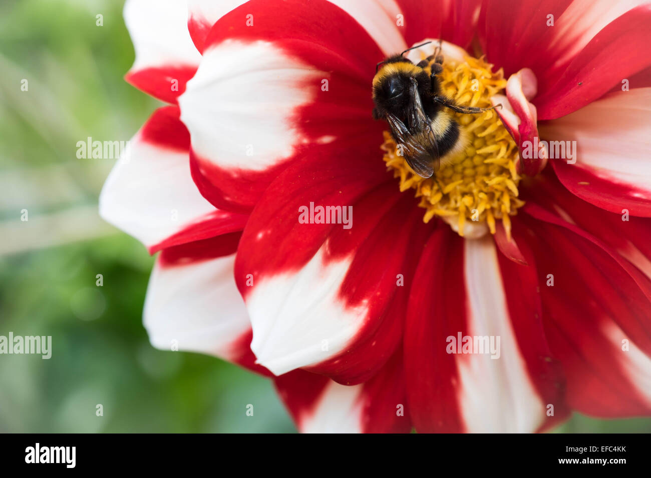 A bee sitting in the middle of an ice and fire dahlia flower - Stock Image