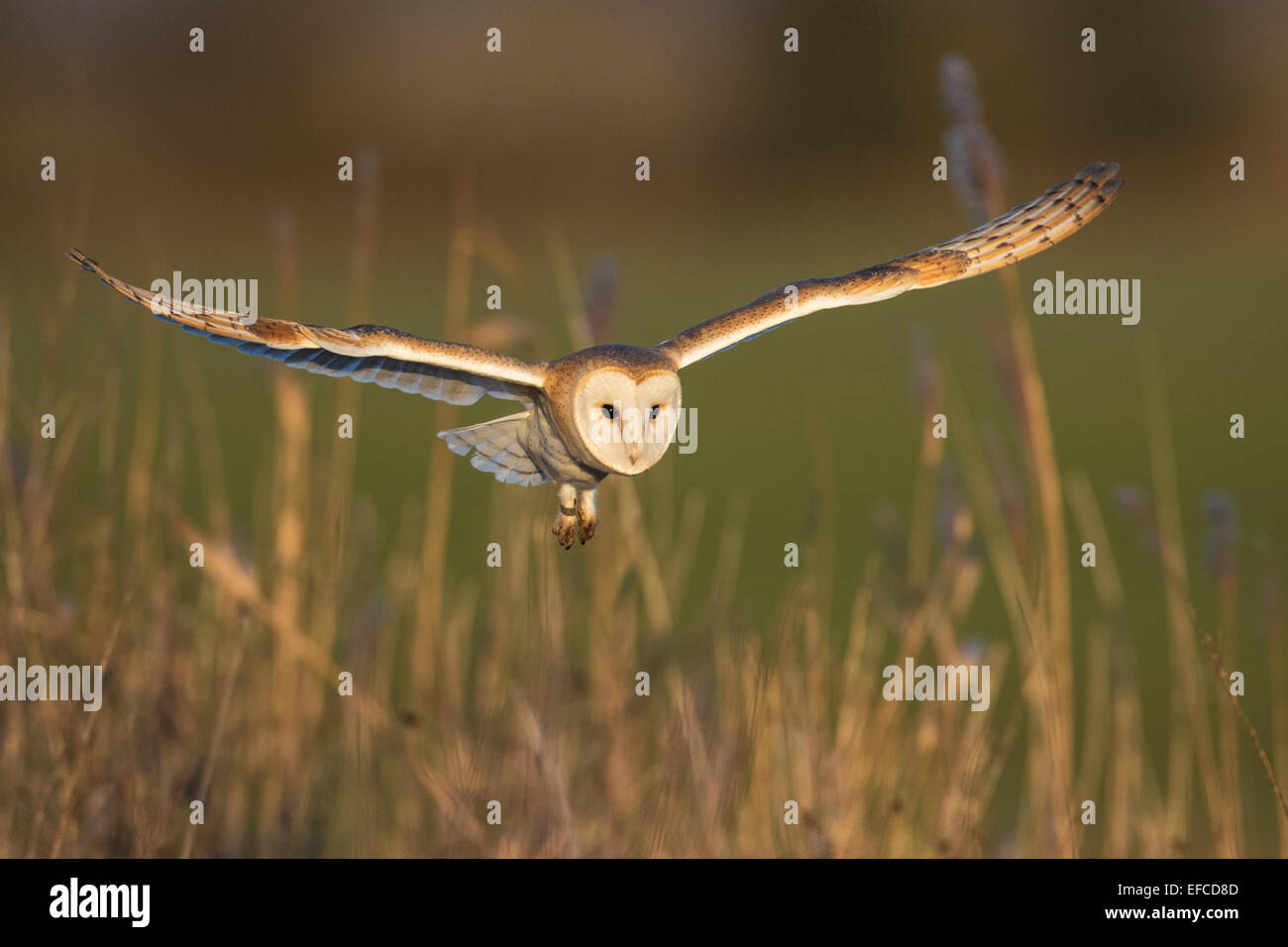 Barn Owl (Tyto alba) in flight, Norfolk, England - Stock Image