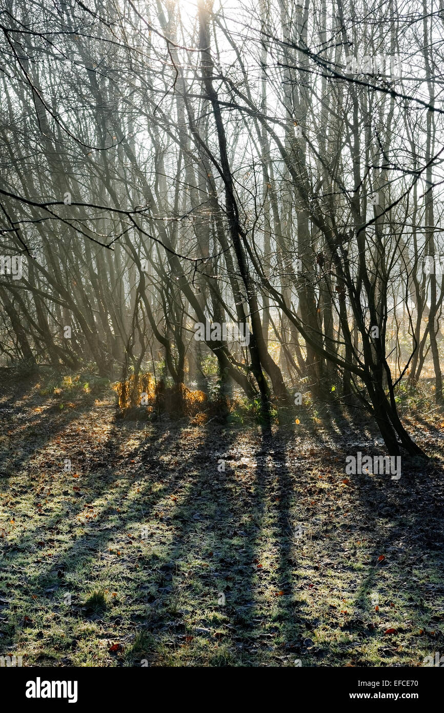 Leafless tree trunks, silhouetted against winter sun, casting shadows on frosty ground. Stock Photo