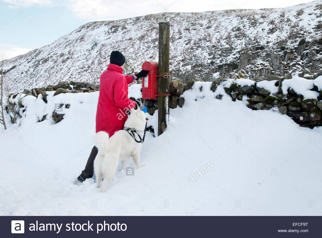 Holwick, Middleton-in-Teesdale, Co Durham, UK 31st January 2015. Lady with a dog (three quarter husky) posting a - Stock Image