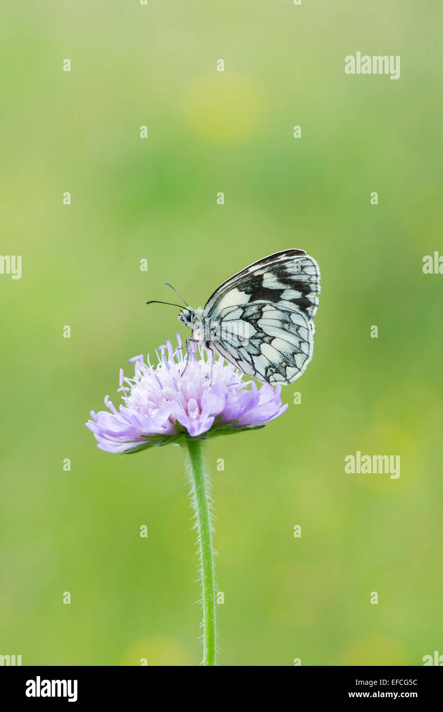 Marbled white butterfly on a field scabious flower in the english countryside - Stock Image