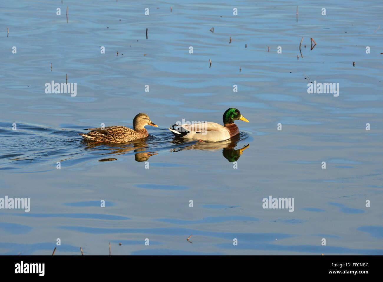 Female (left) and male mallard ducks (Anas platyrhynchos) in lake at Inch Island Wildfowl sancturary, Burnfoot, - Stock Image