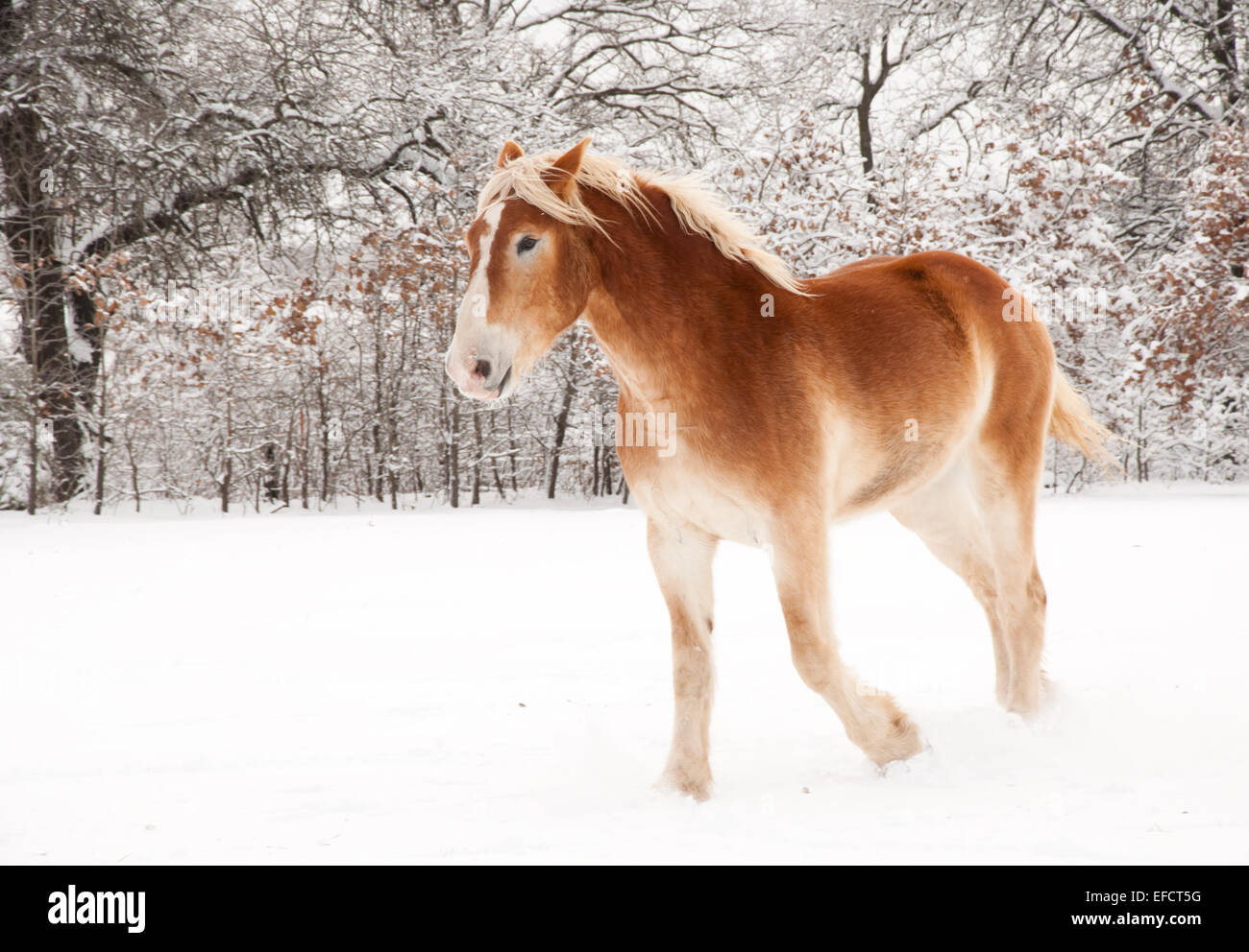 Belgian Draft horse in snow - Stock Image