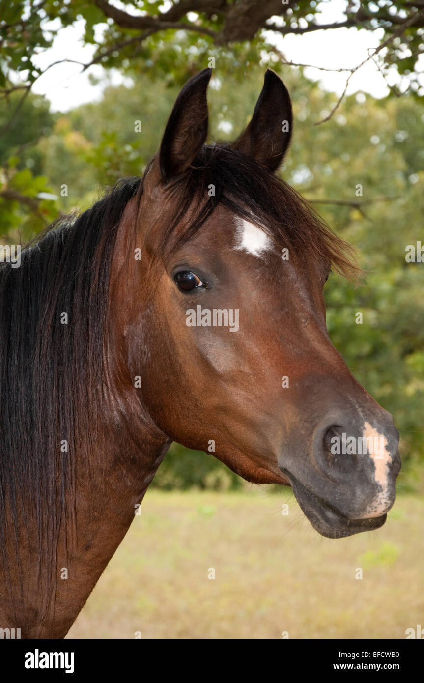 Beautiful dark bay Arabian horse with a star and a snip with a curious expression - Stock Image