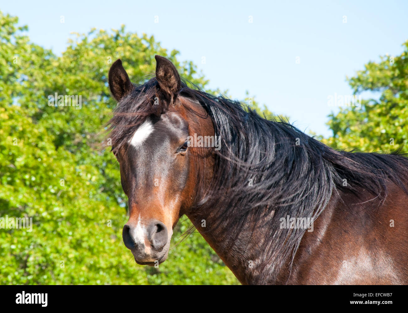 Gorgeous dark bay Arabian horse looking at the viewer with wind blowing in his mane Stock Photo