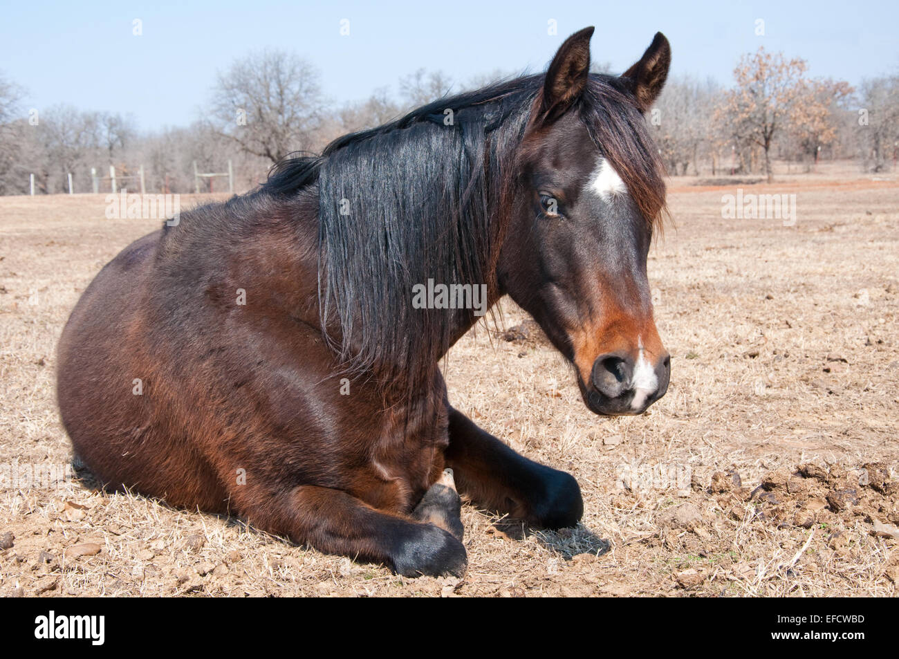 Dark bay horse in his winter coat taking a midday nap in pasture - Stock Image