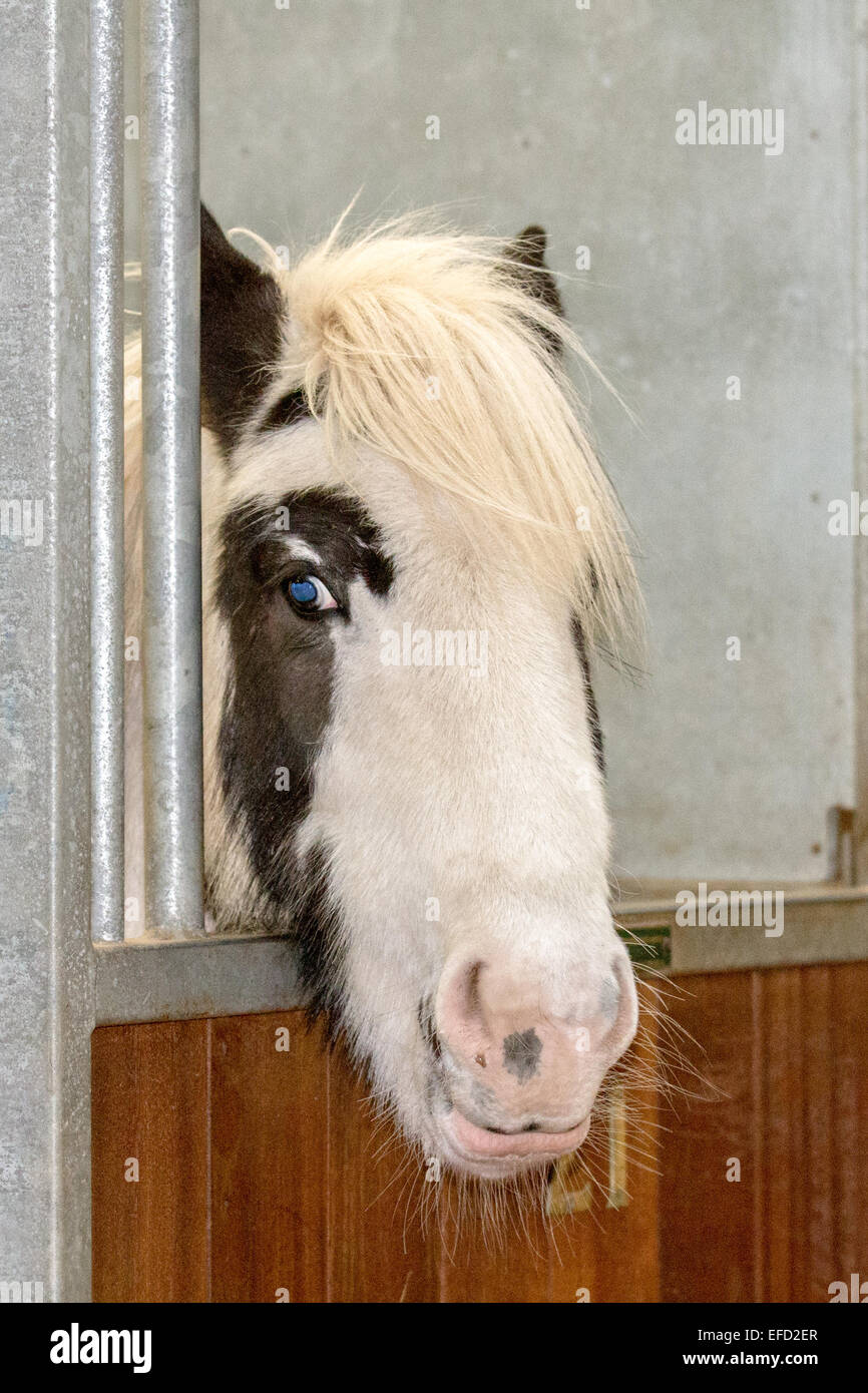 Blackpool, Lancashire, 31st January, 2015.  World Horse Welfare's Penny Farm is home to around 65 horses at - Stock Image