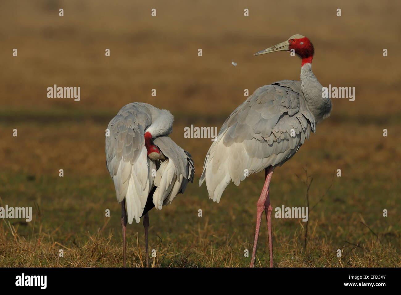 sarus crane (Grus antigone)  pair in Keoladeo Bharatpur - Stock Image