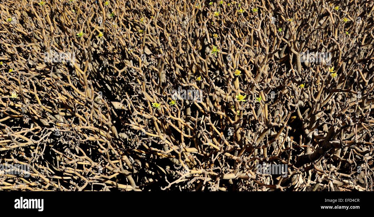 flora of Lanzarote Island - Eyphorbia balsamifera, Canary Islands, Spain - Stock Image