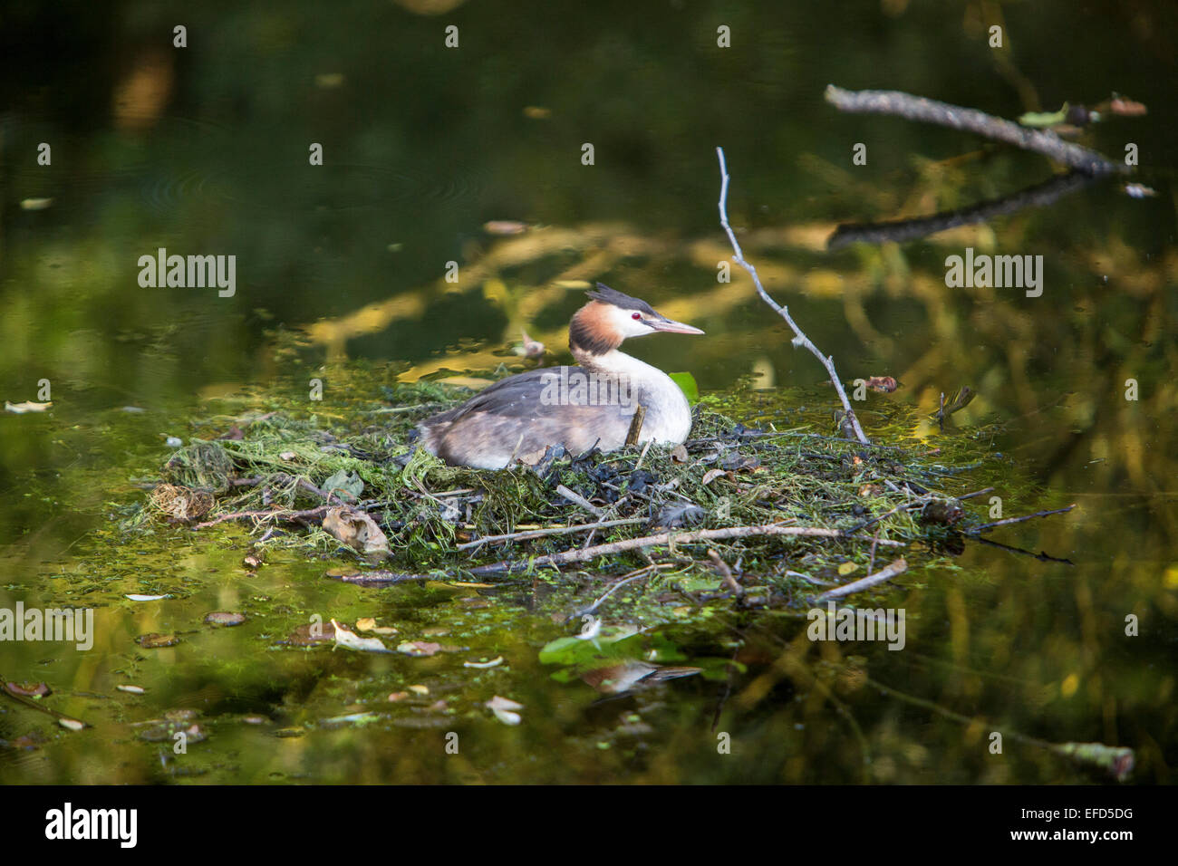 great crested grebe, Podiceps cristatus, breeding, at a nature reserve, river Ruhr, Essen, Germany, - Stock Image
